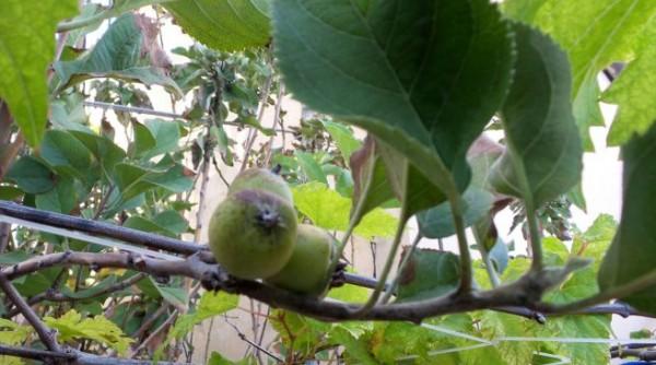 apple tree maldives