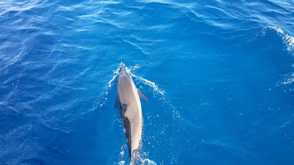 dolphin-maldives