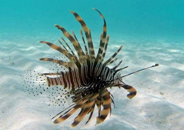 Aggressive species of fish commonly found in maldives for Aggressive saltwater fish