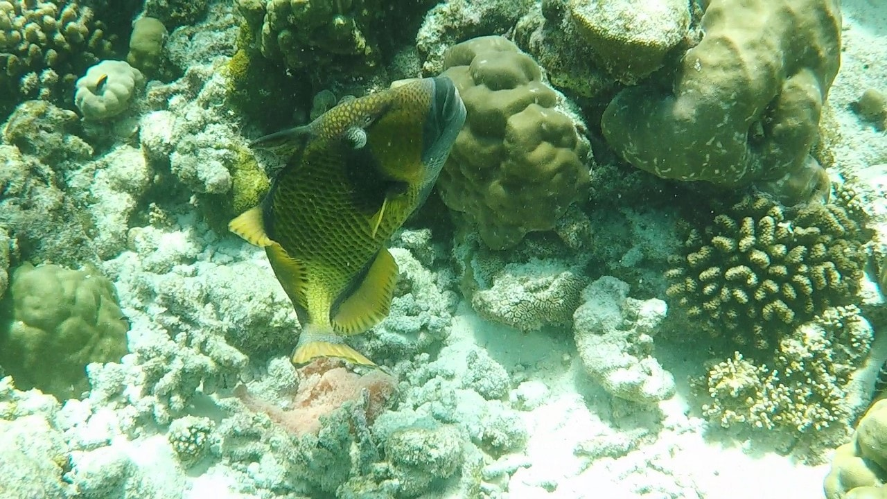 Aggressive species of fish commonly found in Maldives