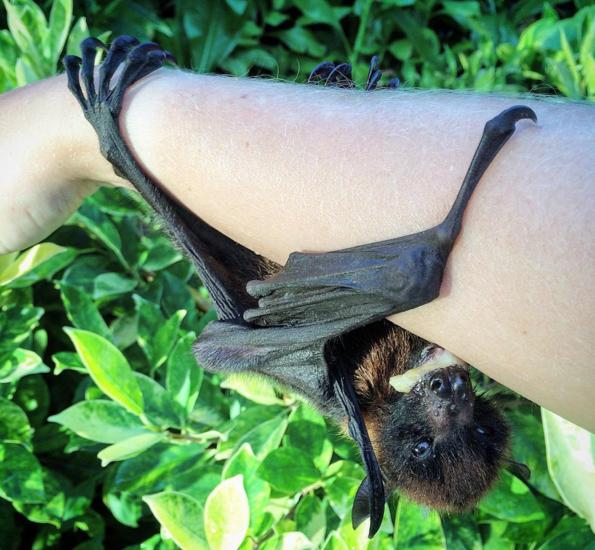 fruit bat anastasia