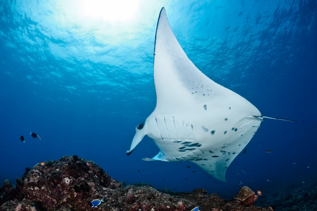 ari atoll manta