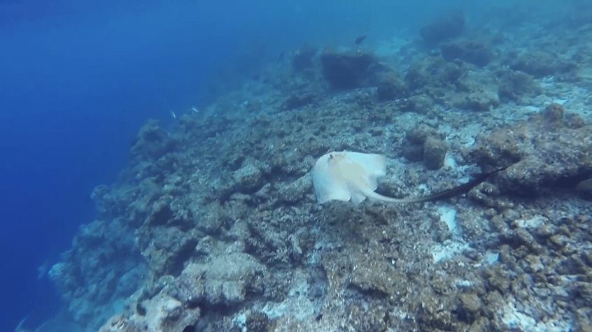 stingray at kurumba