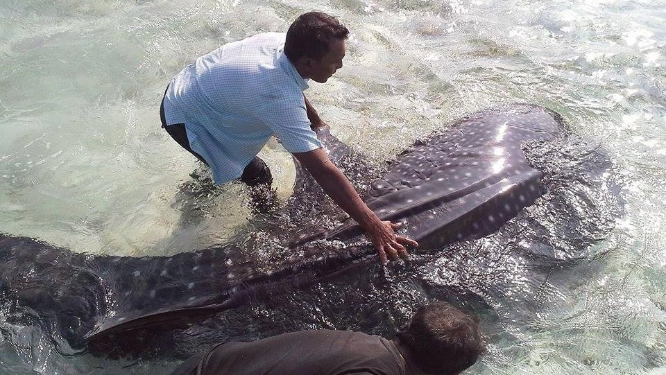 whale shark rescue maldives