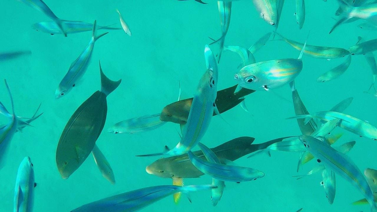 Tourists guide to thoddoo local island maldives for Fish feeding chart