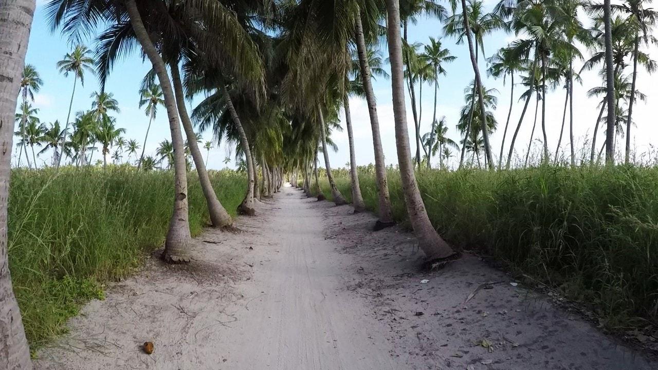 palm trees of thoddoo
